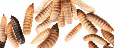 Entomospeed: Workshop verwerking van eetbare insecten
