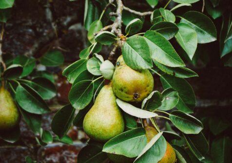 Meer natuur voor pittig fruit: Hagelandse fruittelers helpen wilde bijen