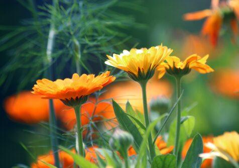 Growing a Green Future: inspiratiesessie goudsbloem